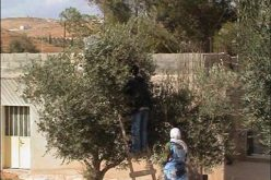 Olive Harvest in Palestine. Another Season, Another Anguish