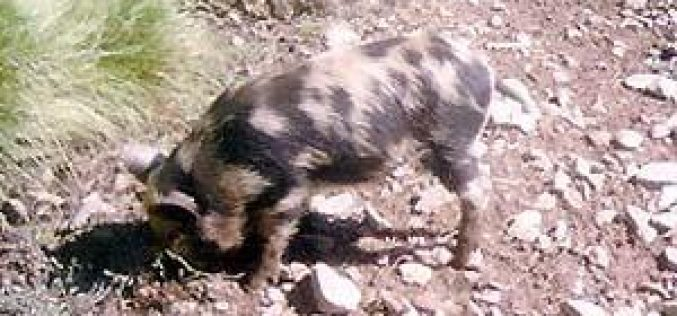 Israeli brought wild pigs destroy tens of dunums in Deir Ballut plain