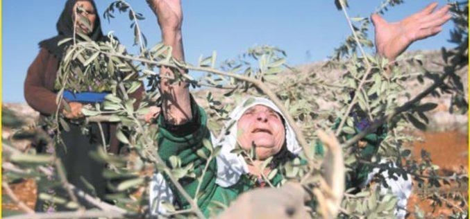 Hagai settlers cut olive trees in Ar Rihiya village