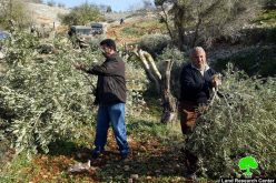 Deir Ballut's fruitful olive trees cut for Wall Constructions