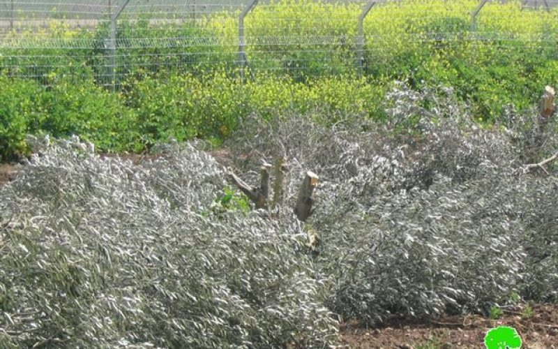 Israeli violations continued against Tura Al Gharbiya and Zabuba Lands in Jenin Governorate