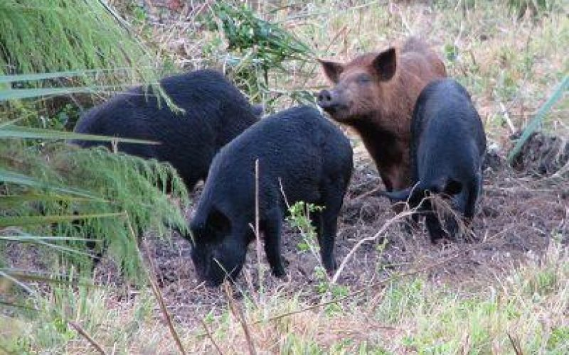 ي ظل انتشار أنفلونزا الخنازير , المستعمرون الإسرائيليون يطلقون مزيداً من  الخنازير في الأراضي الفلسطينية
