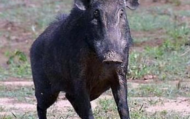Wild Boars in West Bank Causing Damage to Palestinian Villages and Farms