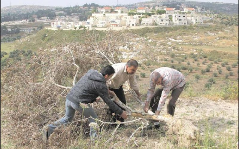 Uprooting 35 Olive Trees in Kafr Kaddum