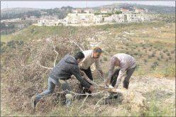 اقتلاع وتدمير 35 شجرة زيتون مثمرة  في قرية كفر قدوم