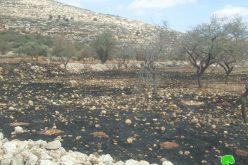 """الزيتون الفلسطيني يصارع من أجل البقاء  <br> """" الاعتداءات الإسرائيلية على الزيتون الفلسطيني خلال موسم القطاف  """""""