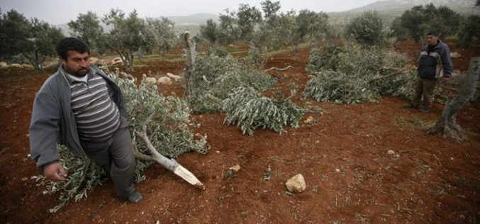 Destroying more than 270 Olive Trees in Duma and Qusra
