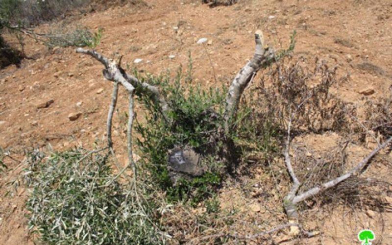 قطع وإتلاف 51 شجرة زيتون قرية سنجل- محافظة رام الله