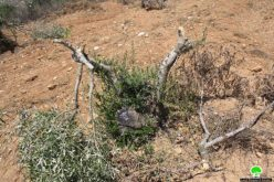 Chopping 51 Olive Trees in Sinjil – Ramallah Governorate