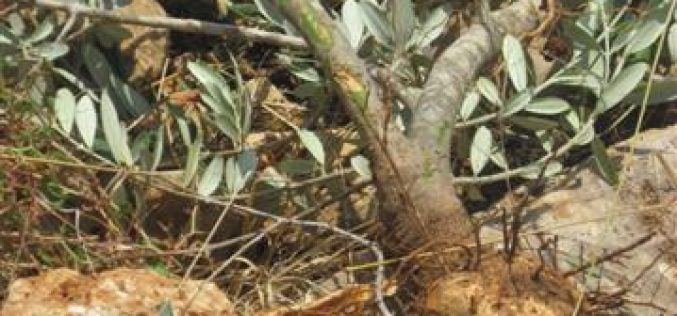 الاحتلال الاسرائبلي يقتلع 300غرسة زيتون  في منطقة واد قانا  – محافظة سلفيت