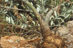 The Israeli Occupation Uproots 300 Olive Seedlings in Wadi Qana – Salfit Governorate