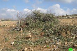 إتلاف  345 غرسة زيتون في بلدة ترمسعيا – محافظة رام الله