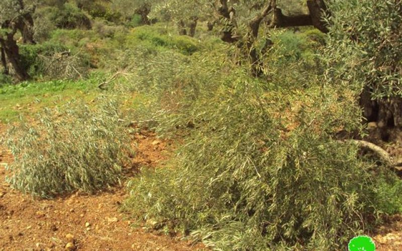 Cutting 75 Olive trees in Bitillo village