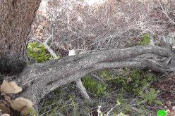 Israeli colonists Chop 40 Trees in Qaryut