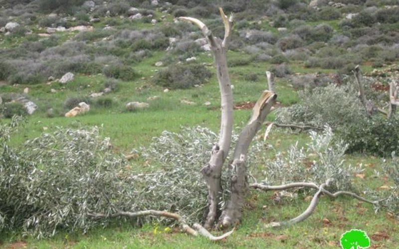 مستوطني  مستوطنة عادي عاد يتلفون 220 شجرة زيتون في قرية دوما – محافظة  نابلس