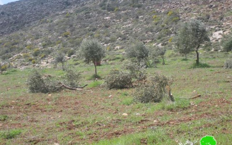 Gilad Zohar colonists ravage 25 olive trees in Far'atta village