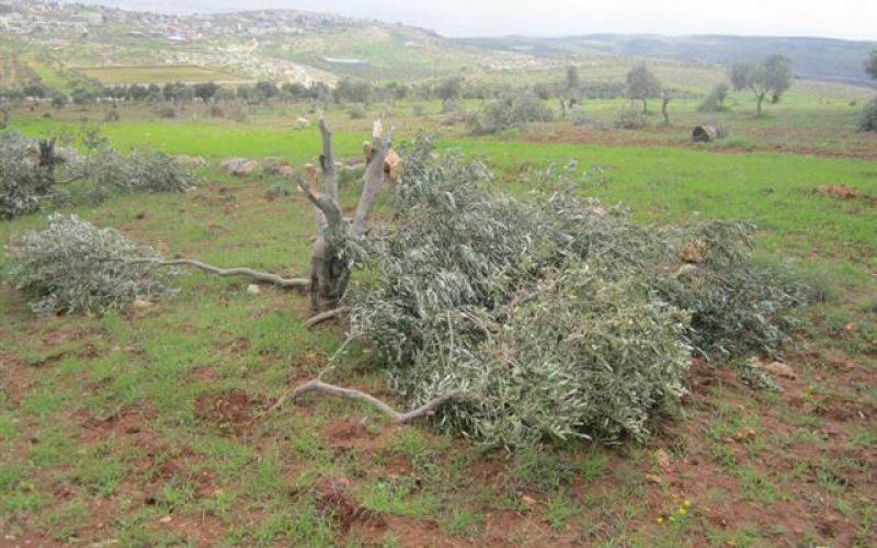 إتلاف 250 شجرة زيتون في قرية بيتللو