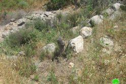 إتلاف 20 شجرة زيتون في قرية عزبة شوفة