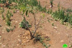 الاعتداء على أشجار مختلفة  في موقع قنان جابر جنوب يطا