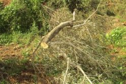 Ravaging 100 Trees in Bitillo