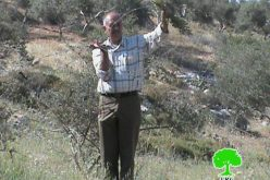 Ravaging 267 Olive Seedlings in Aqraba