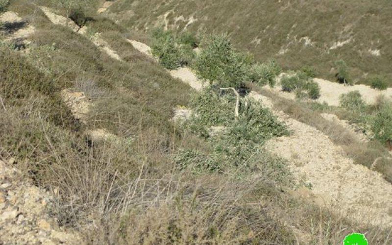 إتلاف 17 شجرة زيتون في قرية بورين