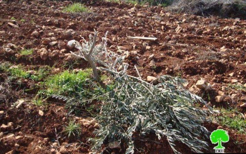 Ravaging 251 Trees in Qusra