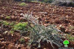 مستوطنو البؤرة الاستيطانية يش كودش  يتلفون 251 شجرة زيتون في قرية قصرة