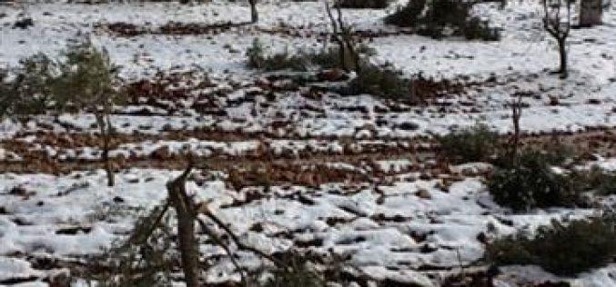 إتلاف وتخريب 163 شجرة زيتون في قرية قصرة