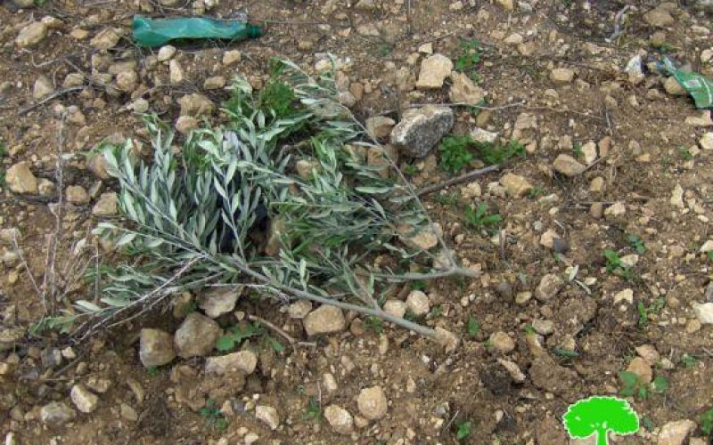 Ravaging 40 Olive Seedlings in Deir Ballout