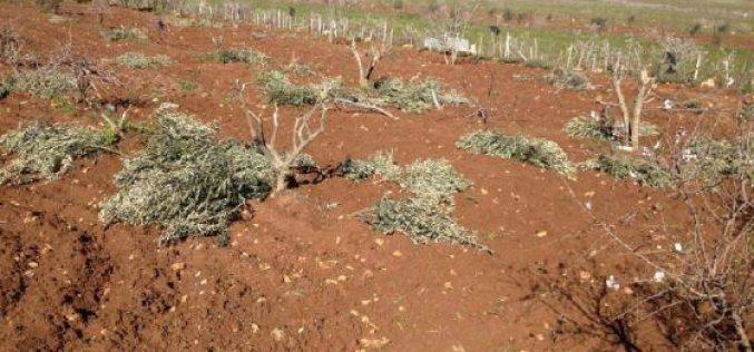Colonists of Adi Ad Ravage Trees in Turmus'ayya