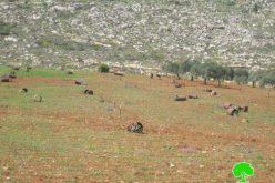 إتلاف 64 شجرة زيتون في قرية قصرة / محافظة نابلس