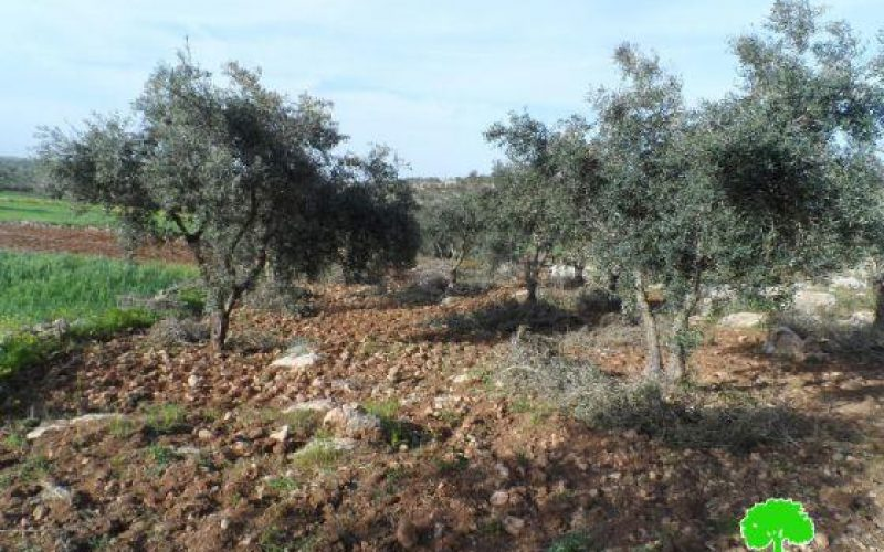 Colonists Ravage 40 Trees in Beit Awwa