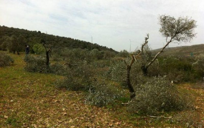 Colonists of Talmun Ravage Olive Trees in Al Janiya village – Ramallah Governorate