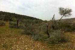 """مستعمرو  """"تلمون"""" يتلفون 21 شجرة زيتون في قرية الجانية في محافظة رام الله"""