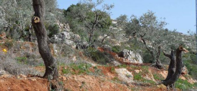 Damaging 12 olive trees in Burin- Nablus