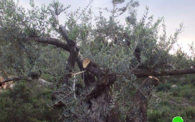 إتلاف 150 شجرة زيتون في قرية المزرعة القبلية / محافظة رام الله