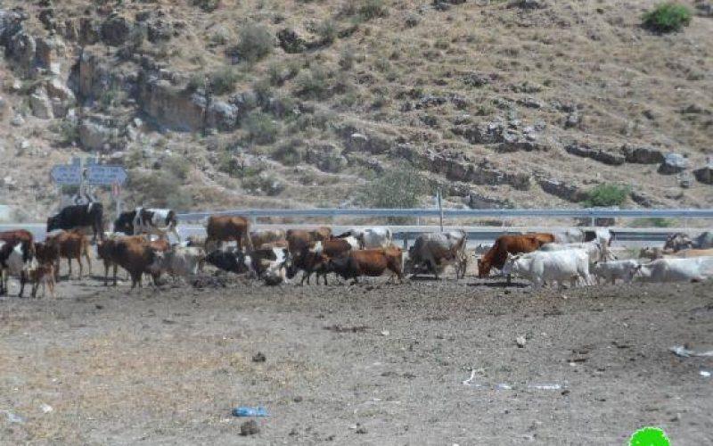 الاحتلال الإسرائيلي يصادر رأسين من الأبقار و يعمل على تخدير خمسة رؤوس أخرى في عين حلوة