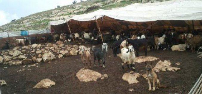 رش السموم في المراعي و قتل الخراف وسيلة جديدة يستعملها المستوطنون في الأغوار الشمالية