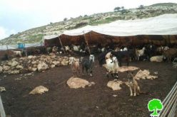 Killing Cattle in the Jordan Valley