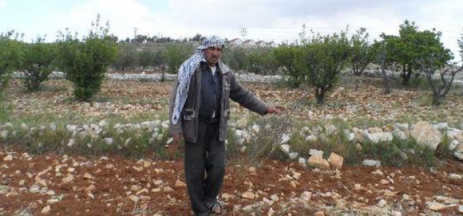 Colonists Uproot and Steal Olive Seedlings in Al Zafaran area in Sa'ir – Hebron