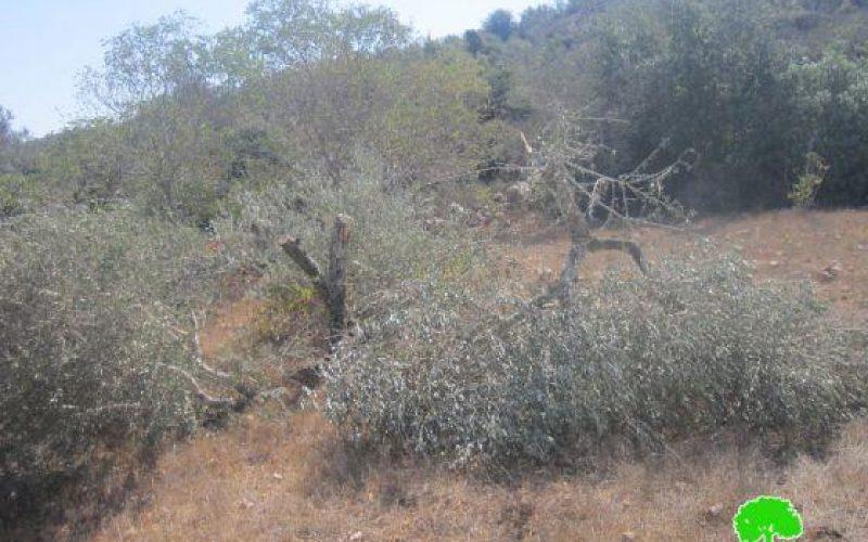 """مستعمرو """"نحلئيل"""" يتلفون 20 شجرة زيتون في قرية بيتللو"""