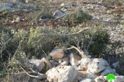 """مستعمرو """" ألون موريه""""  يقطعون  112 غرسة زيتون في قرية بيت دجن /محافظة نابلس"""