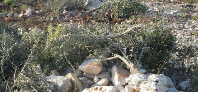 Israeli Colonists uproot 112 olive seedlings in Beit Dajan village – Nablus
