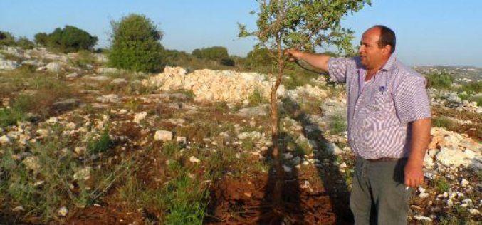 """في جريمة جديدة مستعمرو """" ميفودوتان """" يقطعون  900 شجرة زيتون من أراضي قرية عرابة"""