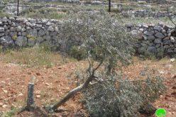 مستوطنو مستوطنة حلميش يتلفون 150 شجرة في قرية دير نظام