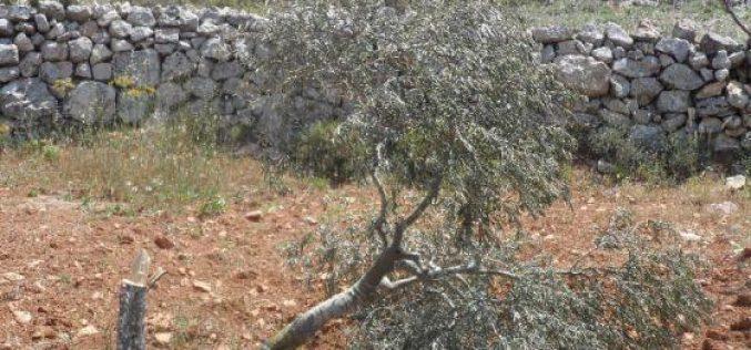 Ravaging 150 Trees in Deir Nizam