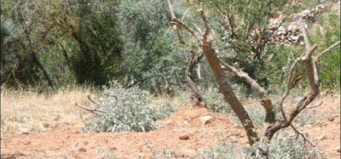 """Series of Attacks Continue"" <br> Israeli Settlers cut Old Olive Trees in Nahhalin Village West of Bethlehem City"