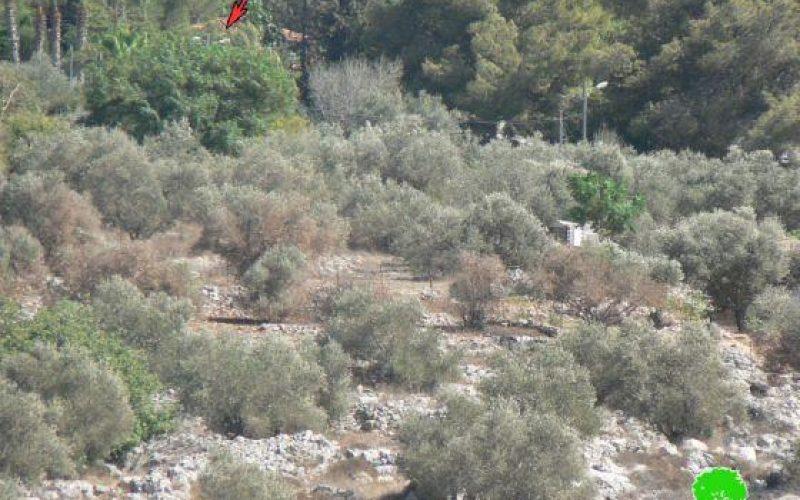 رش 43 شجرة زيتون بالمواد الكيميائية وإتلافها في قرية بورين