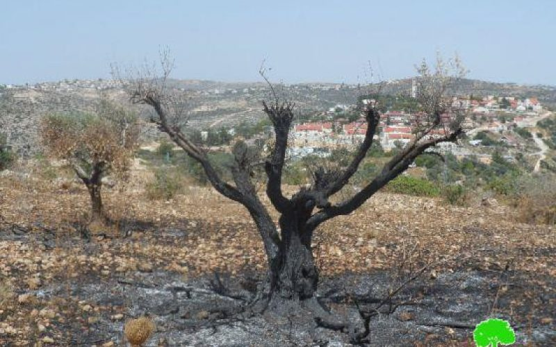 Colonists Burn 590 Olive Trees in Betilo village